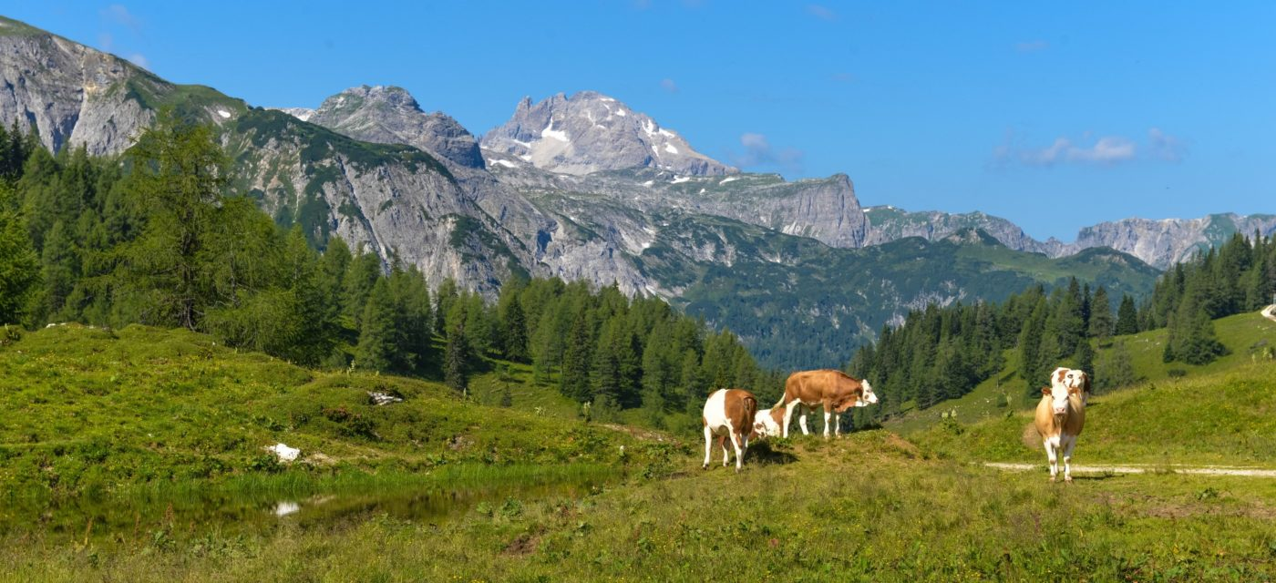 Picture of cows in the mountains in Austria