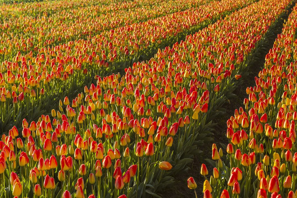 tulip field in the Netherlands on road trip
