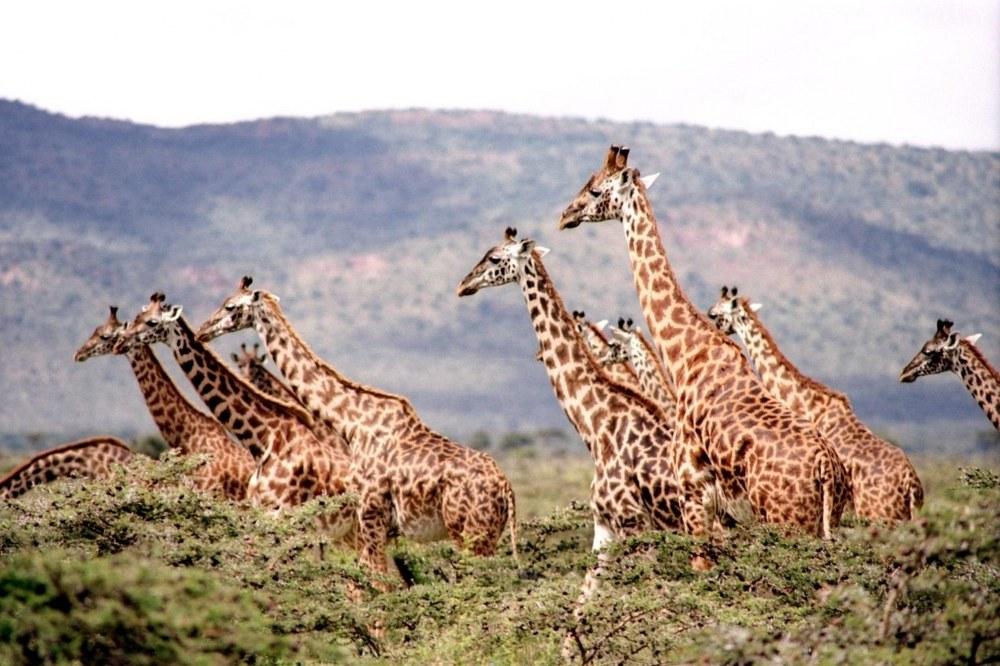 adventure vacation - giraffes on African safari