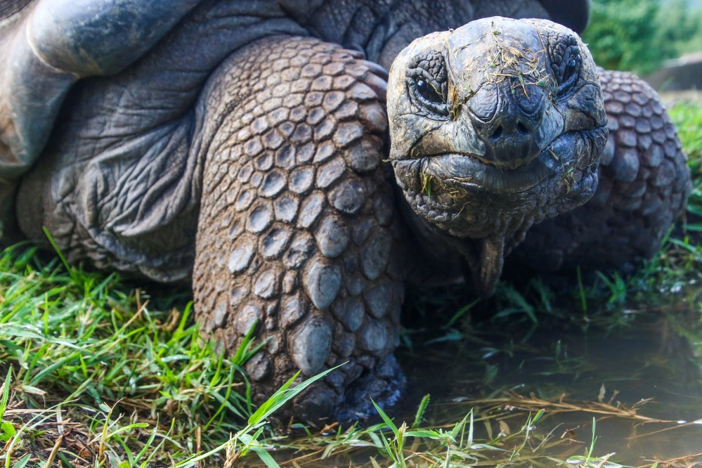 Galapagos islands facts - giant turtle