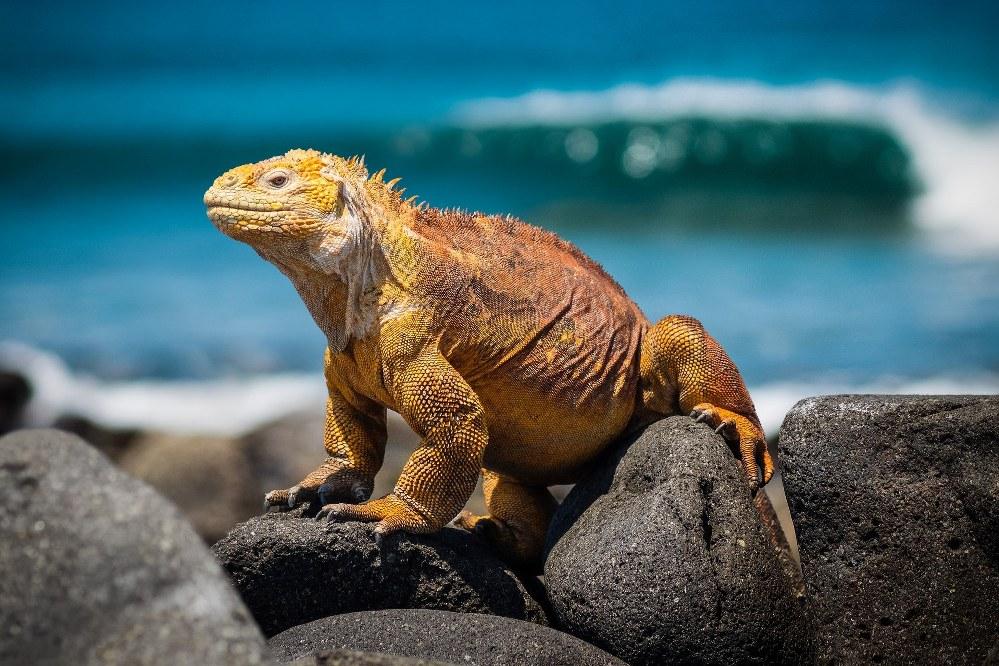 Galapagos islands facts -iguana