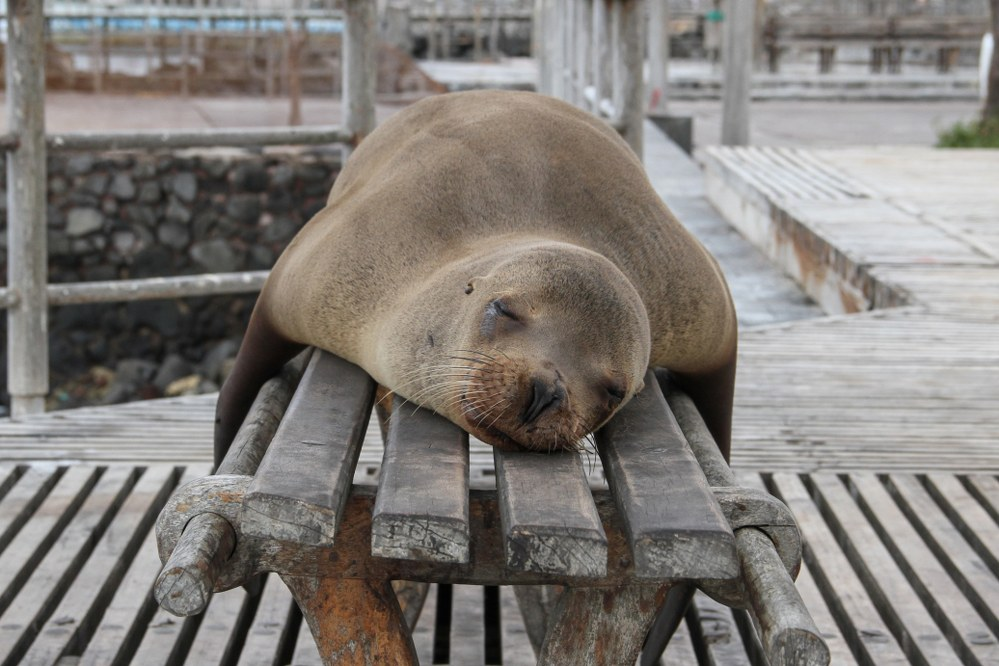 Galapagos islands facts - sea lions