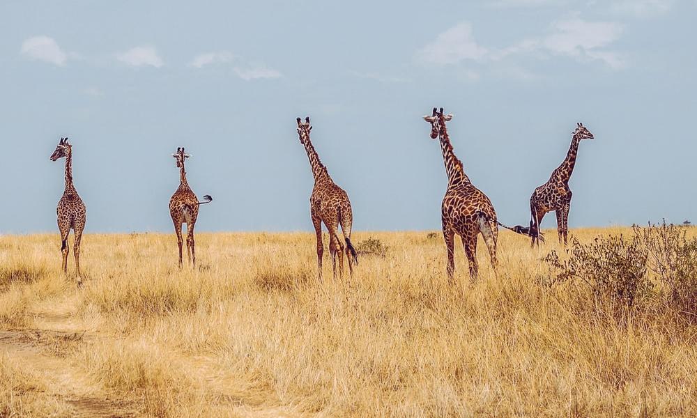 African safari with kids - giraffes