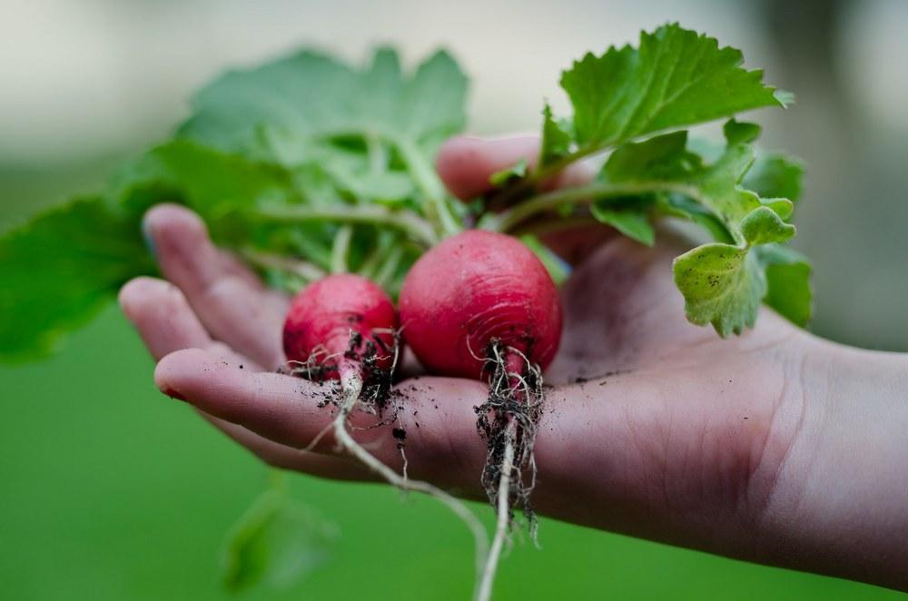 vegetable garden - child harvesting radishes