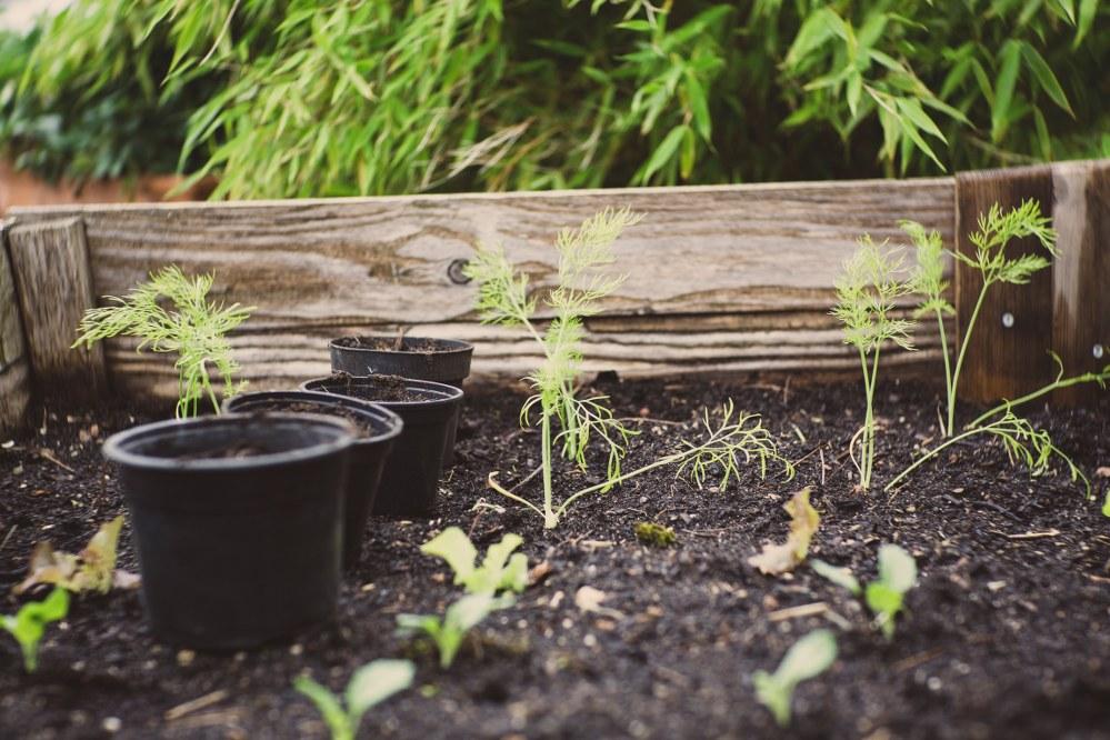 vegetable garden - raised bed with seedlings