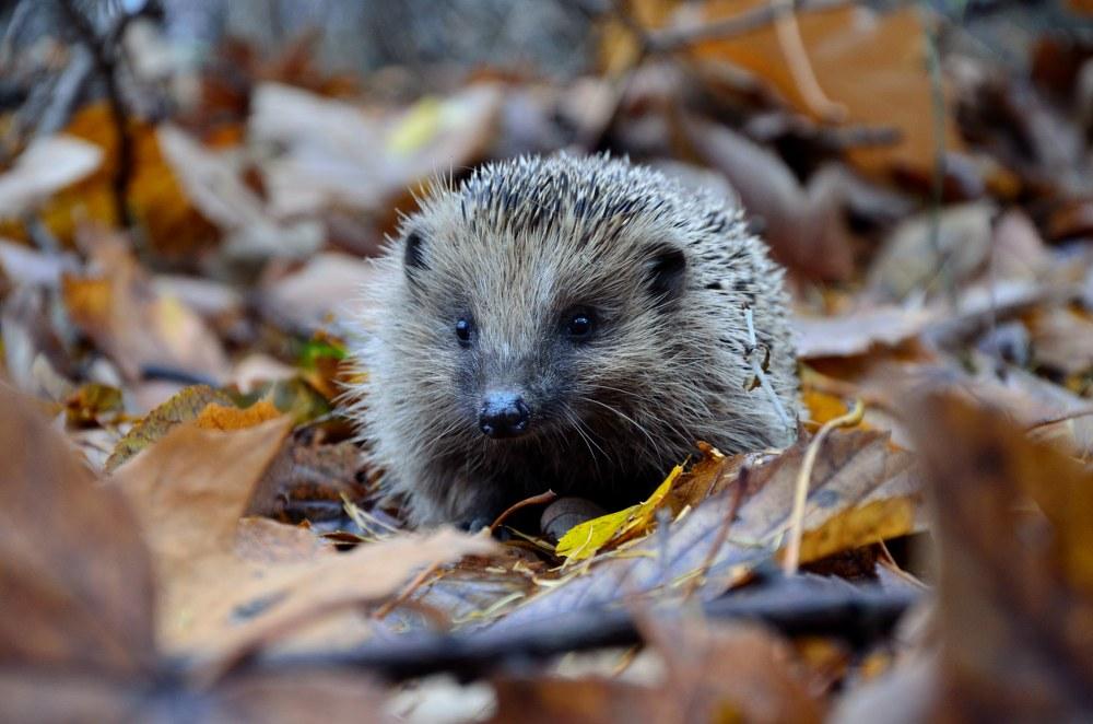 autumn garden: hedgehog