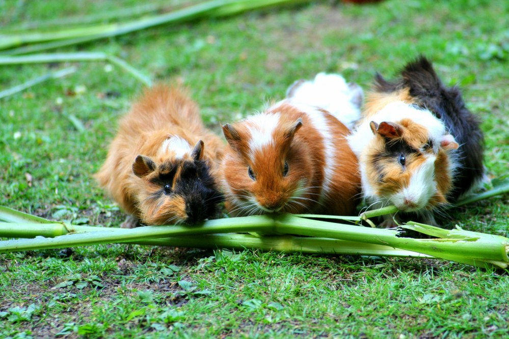 family pets - three guinea pigs on lawn