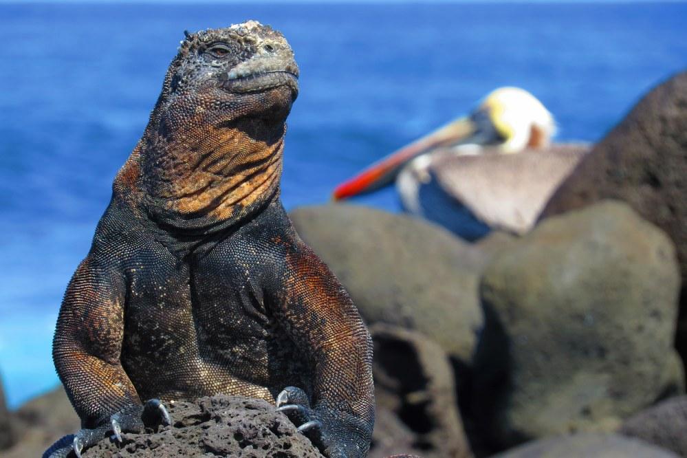 marine iguana on Galapagos - my dream holiday