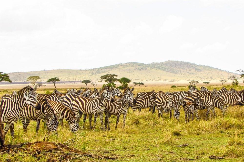 zebra in the Serengeti National Park in Tanzania