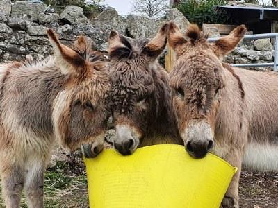 donkeys at Blackadon farm