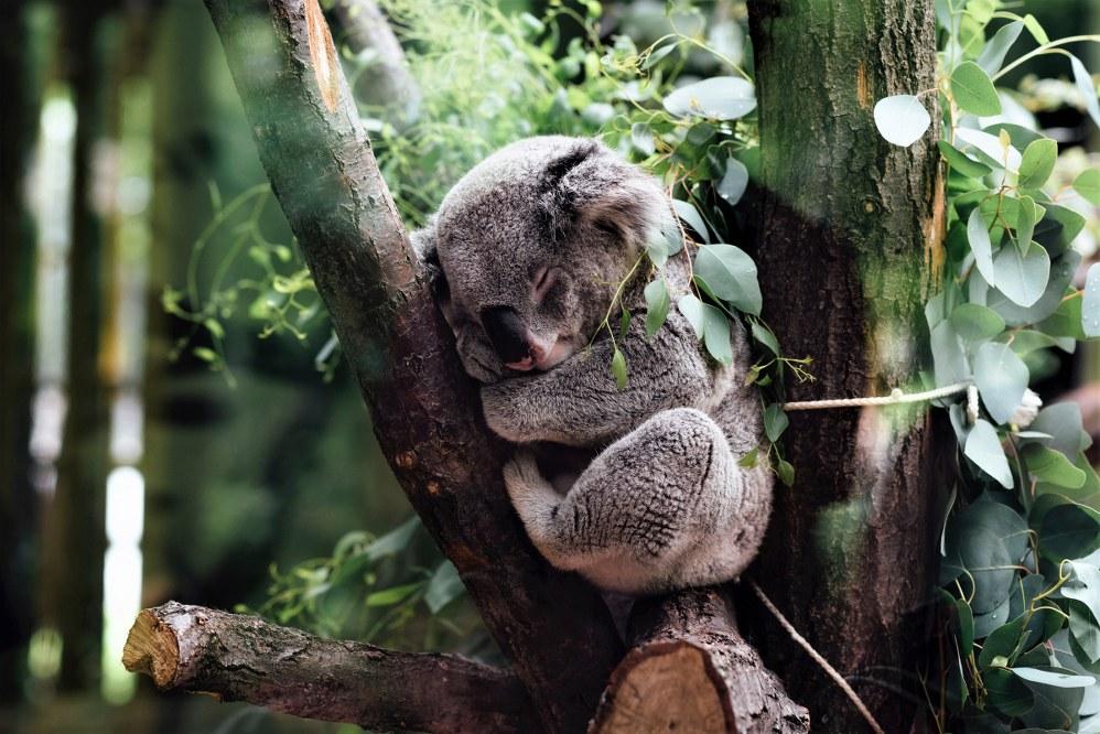 Koala sanctuary, NSW